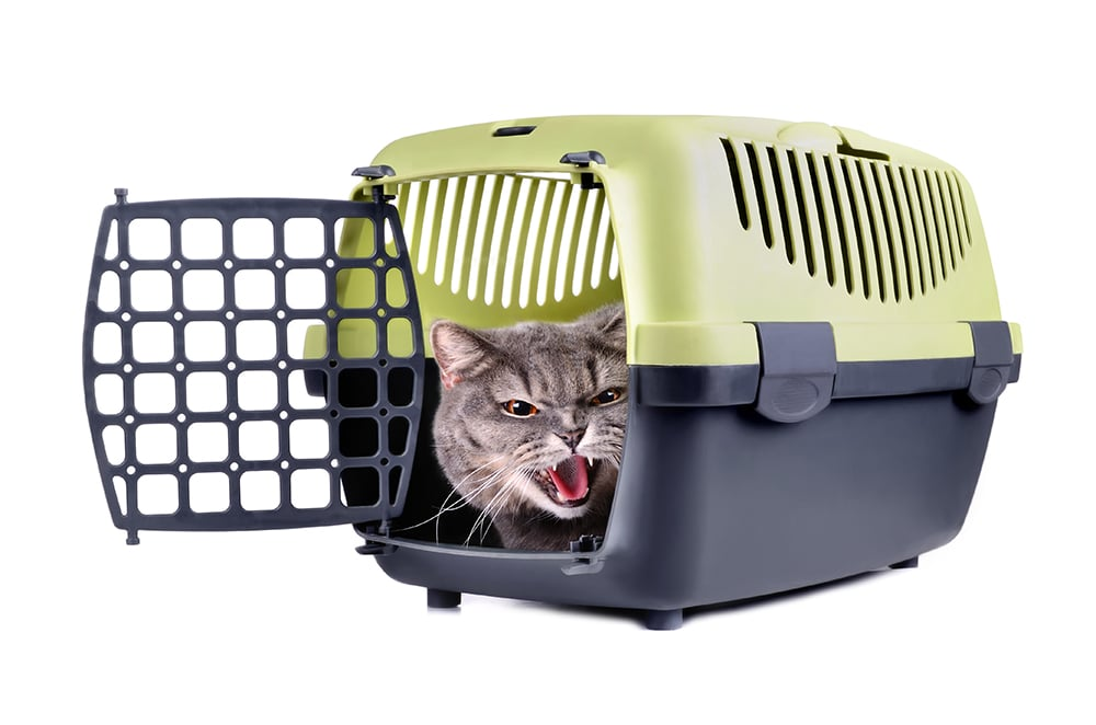 Angry Cat in Carrier